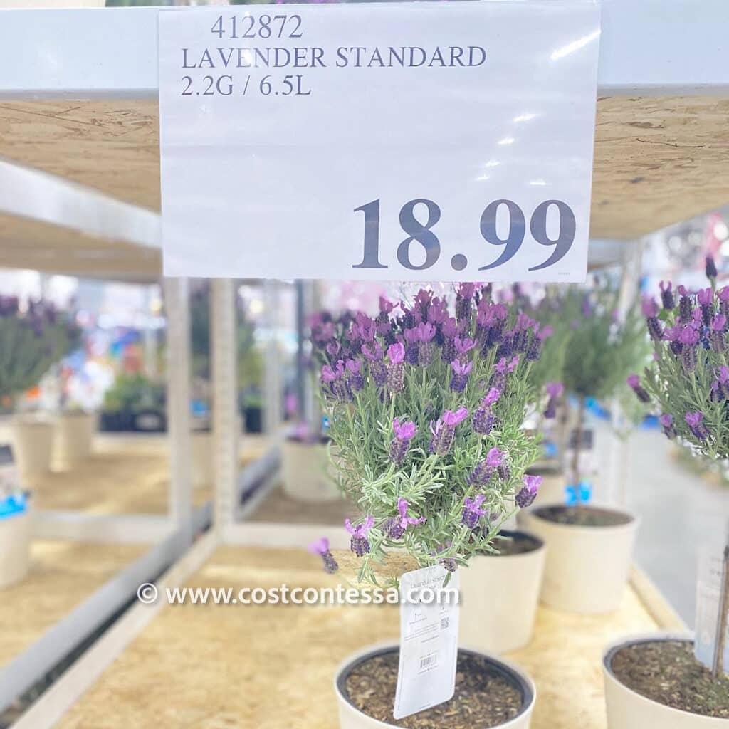 Costco Mini Lavender Trees - CostContessa