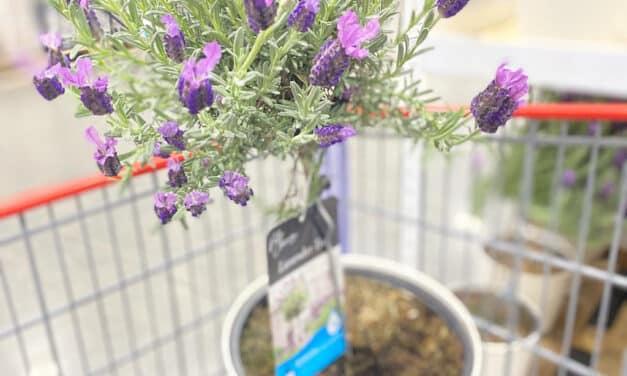 Costco Mini Lavender Trees