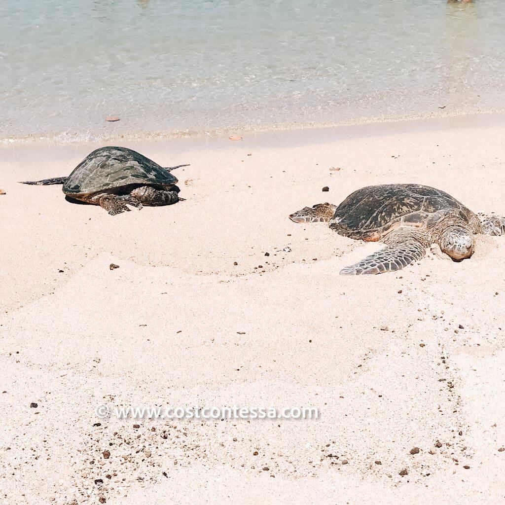 2 Sea Turtles at Poipu Beach - Recommended Beach Near Grand Hyatt Kauai - Costco Travel Hotel Resort Review
